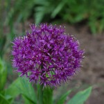 ALLIUM AFLATUENSE 'PURPLE SENSATION