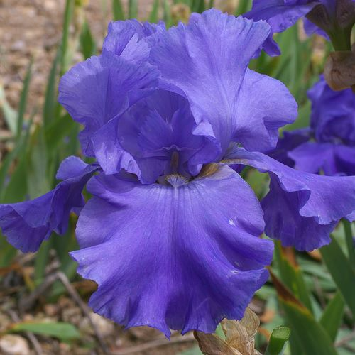 AGAIN SUCH A WONDEFUL IRIS FROM NURSERY CAYEUX IN FRANCE.