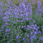 WE WILL USE ALSO NEPETA FAASSENII 'SIX HILLS GIANT'