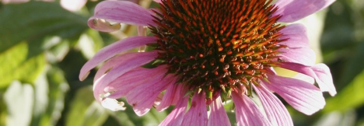 Echinacea purpurea Magnus, BEAUTIFUL DEEP COLOUR FLOWERING