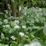 welzijn tuin koken gaan samen met allium ursinum