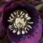 stunning Helleborus in tuin Veldhoven Waalre Nuenen Best Weert-florera.nl