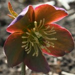 Spectaculair colours in garden at the winter with Helleborus purpurescens- FLORERA gardens and other outdoor spaces
