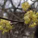 hagenspel-singel of meer privacy in tuin met Cornus mas als winterbloeier met gezonde vrucht-floreraheeze