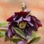 Natuurrijke tuin, tuin voorjaar, tuin Limburg-Helleborus orientalis, Florera tuinontwerp