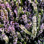 tuin jaar rond bloeiend-winter en voorjaar bloei met Heide.
