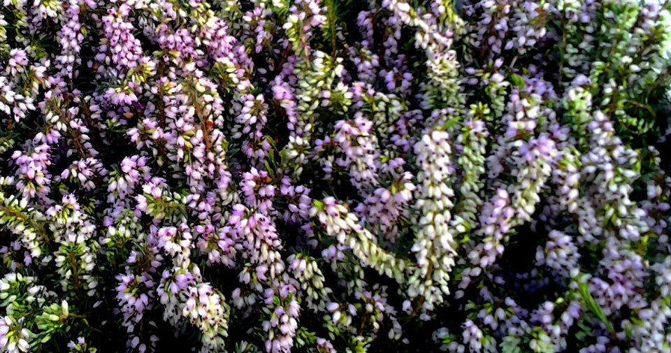 Heather garden in the Netherlands for more health and pleasure, all year around exiting and a beauty after a good gardenadvice.