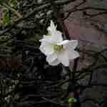 Tuin voorjaar januari- Chaenomelis speciosa ' leiplant-FLORERA tuinen ea. buitenruimtes
