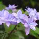 Hydrangea serrata cultivars voor tuin-dakterras-bedrijfstuin, floreraheeze