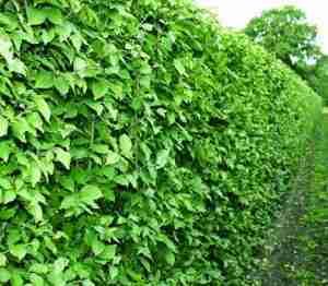 FLORERA tuinen Nederland-tuin Frankrijk-Cornus mas haag.