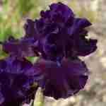 Iris is een wonderschone plant in combinatie met lavendel en salvia soorten-florera.nl voor een tuin in Frankrijk.