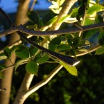 tuinbeleving meerstam boom, mediterrane sfeerbeleving tuin- tuinadvies Florera.nl