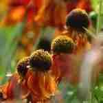diepe kleuren in tuin met oranje in najaarstuin-tuinadvies florera.nl