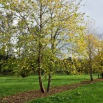 Gardenadvice about unique tree in your garden-florera.nl