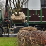 Multi stem adult tree for garden in the Netherlands- FLORERA gardens and other outdoor spaces.