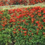 natuurrijke tuin met kant en klare haag van vuurdoorn in tuinplan of tuinadvies.