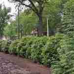 groenblijvende bloeiende haag in tuin Eindhoven.