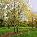 meerstam boom uniek voor tuin bij villa Eindhoven- florera.nl