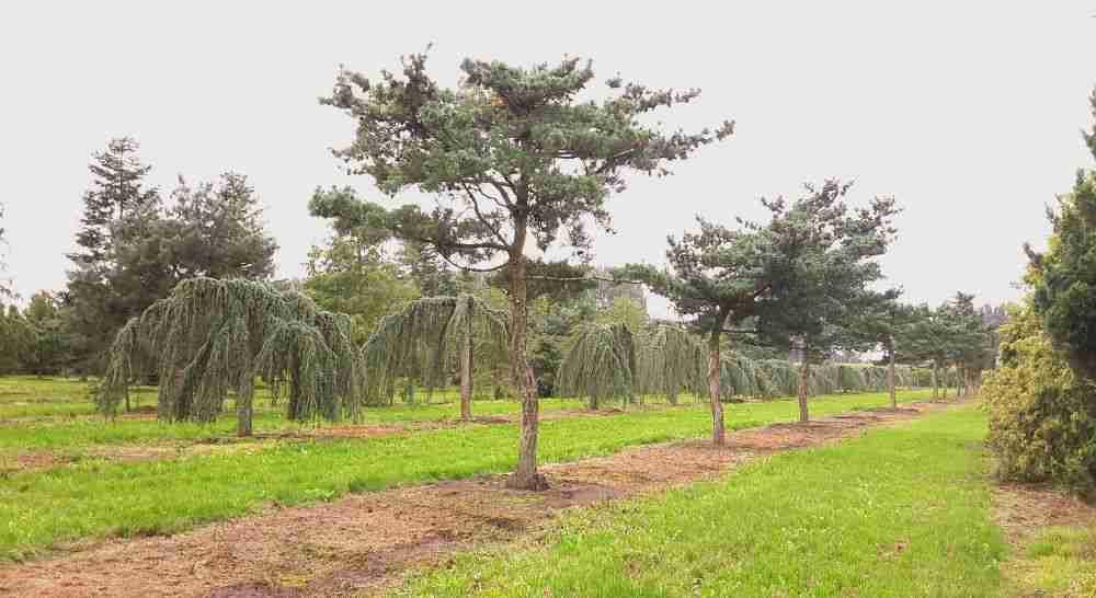 Prachtige bomen met karakter vormen een soort SF. landschap op boomkwekerij van den Berk.