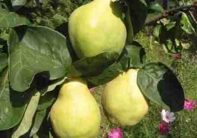 Kweeper Cydonia in landelijke tuin