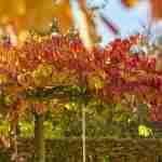 tuinsfeer met grillige natuurlijke dakboom in de tuin met Parrotia persica- Marjan de Koning tuinplan