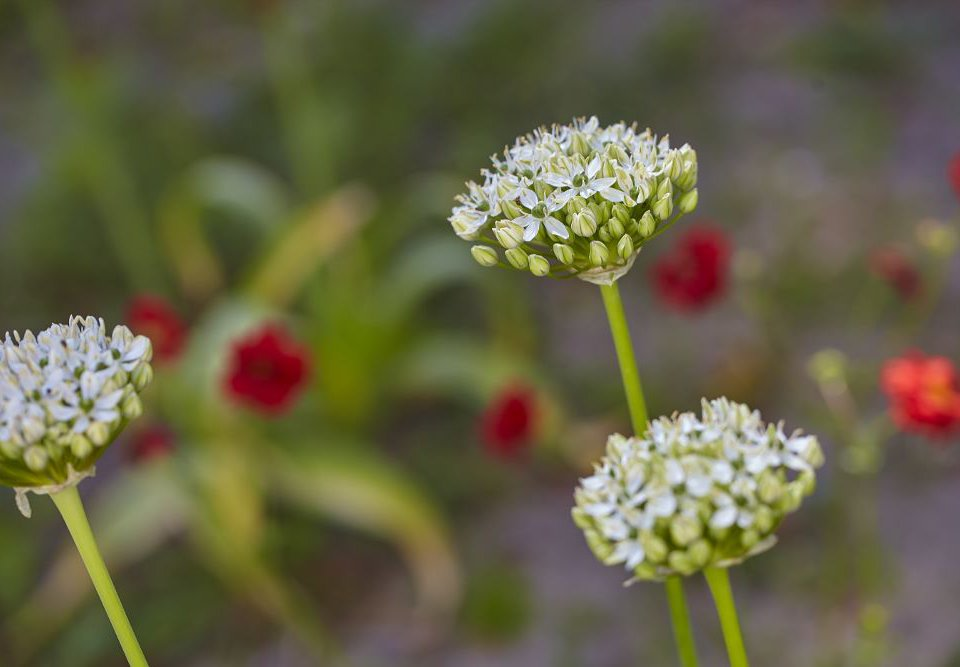 Allium nigrum met Geum chiloense Mrs. Bradshaw in de tuin