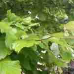 Parrotia persica is een verrassing in de tuin