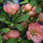 Voorjaarstuin met zacht roze bloeikleur.