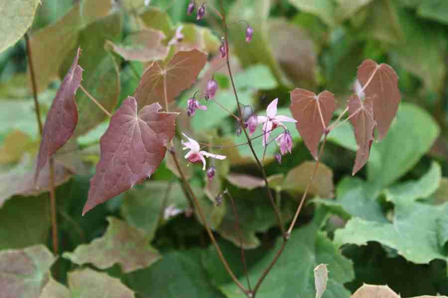 tuinplant Epimedium Pink Elf.