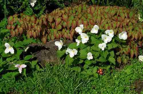 Lage bodembedekkers bij elkaar in de tuin
