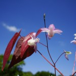 Marjan de Koning tuinarchitect verwerkt graag Epimedium in de tuin
