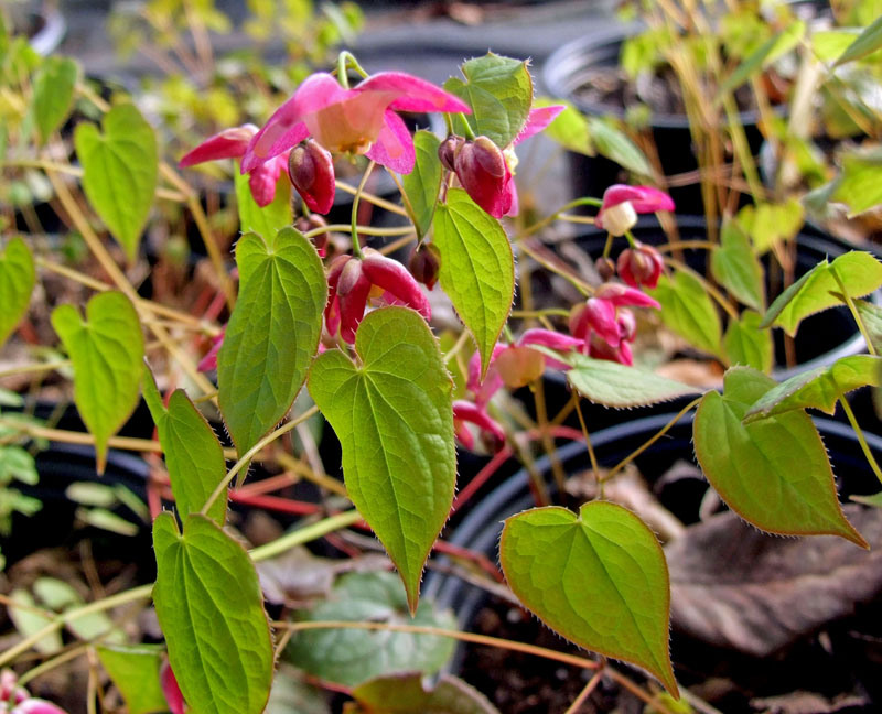 tuinplant Epimedium via gespecialiseerde kweker.