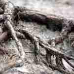 wortels boom in en op de grond van de tuin-