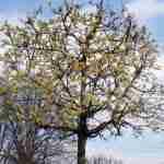 tuinplan met voorjaarsbloeiende kleine blokbomen.