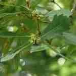 zuilboom halfwintergroen voor privacy tuin