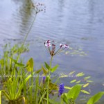 planten grote zwemvijver- landelijke tuin