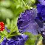 blauwe bloemkleur in tuin