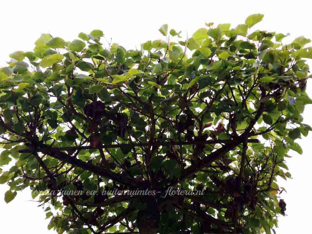 Bomen In Tuin : Een bijzondere boom voor de tuin florera