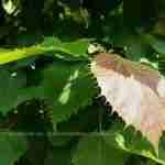 Schitterend brondkleurig loof aan bijzondere boom