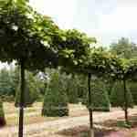 dakboom voor diverse tuinstijlen en type tuinen zoals landelijke tuin