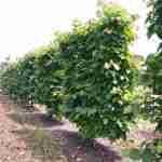 tuin en privacy via groen scherm van bijzondere boom