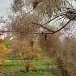 Cotinus coggigria na regenval in herfst- herfsttuin planten