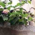 Lantana in Zuid Italië tijdens cultuur-m tuinreis Cagliari- florera.nl