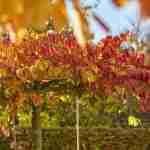 Weergaloze herfstkleur in villatuin Eindhoven