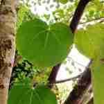 zachte kleuren in blad bijzondere heester- zuilbboom landelijke tuin