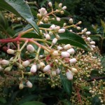 tuinplan met jaarrond genieten tuin- viburnum als bijzondere heester