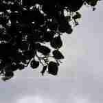 Bijzondere heester of boom in de tuin met deze Linde