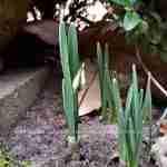 stadstuin voorjaarstuin- jonge planten Galanthus