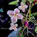 Fragiele bloei met vrolijke kleurtjes in de voorjaarstuin met beplantingsplan Marjan de Koning tuinontwerper.