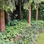 Epimedium cultivars alle seizoen mooi- voorjaarstuin florera.nl